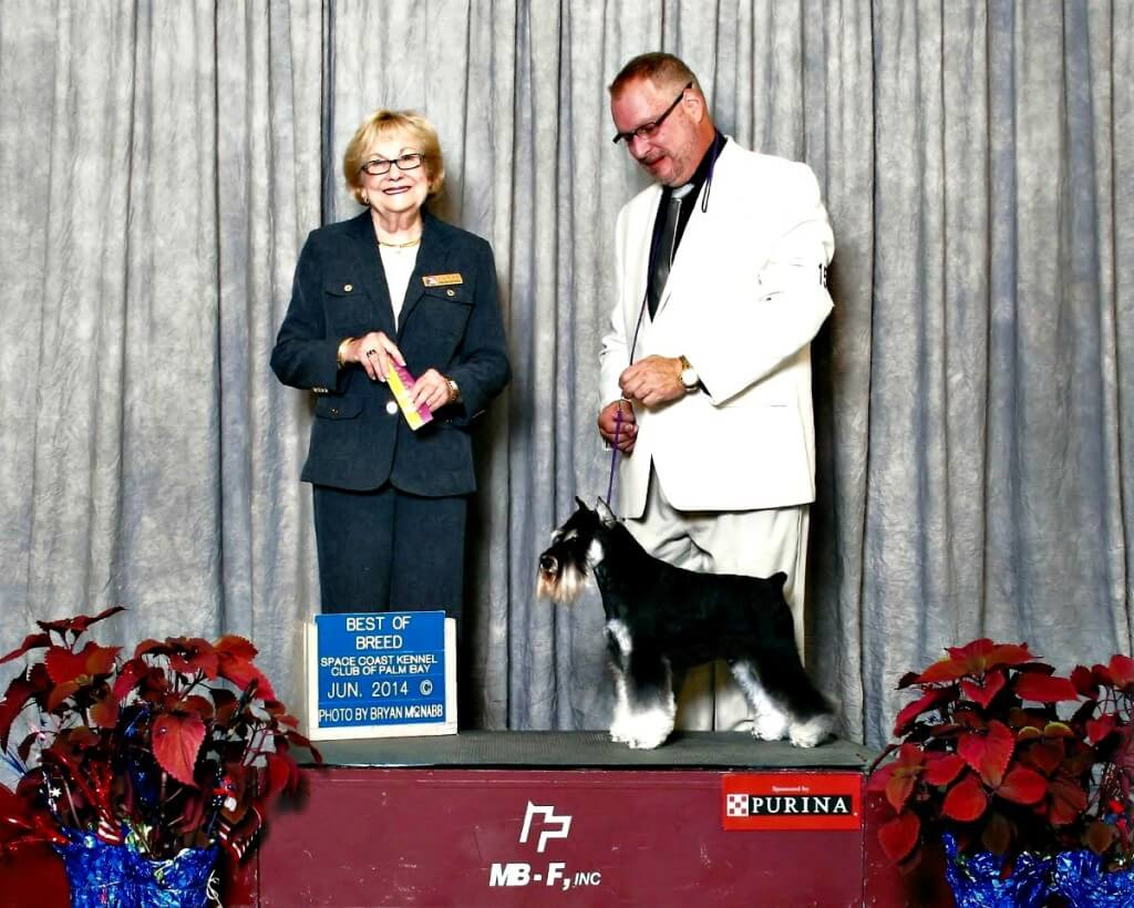 Reberstein's Miniature Schnauzer AKC Show Photo