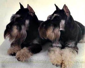miniature-schnauzer-dog-puppies 10
