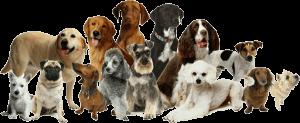 Different Dog Breeds By Reberstein's Miniature Schnauzers