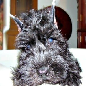 Correctly Cropped Miniature Schnauzer Ears