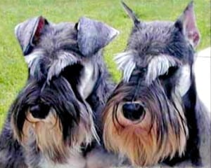 Miniature Schnauzer cropped and natural ears