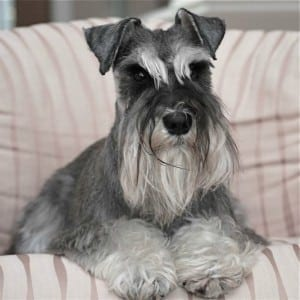 Correct Natural Miniature Schnauzer Ears