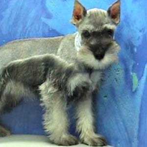 Miniature Schnauzer Ears Cropped Improperly