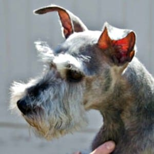 Improper Natural Miniature Schnauzer Ears