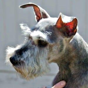 Improper Natural Miniature Schnauzer Ears