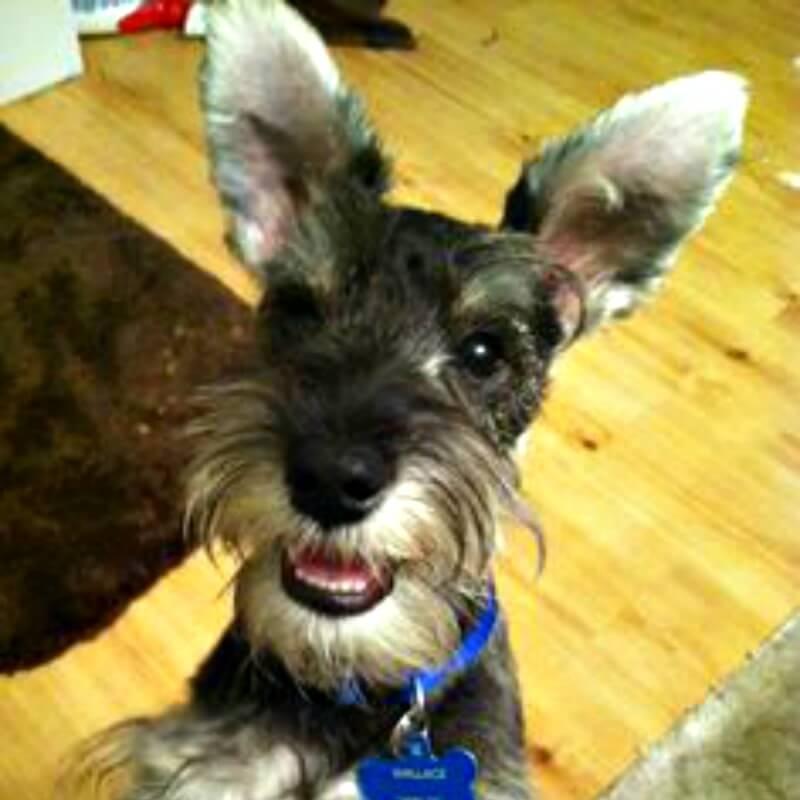 Schnauzer Natural Ear Standard Schnauzer  Dog Cross Body Flat Purse