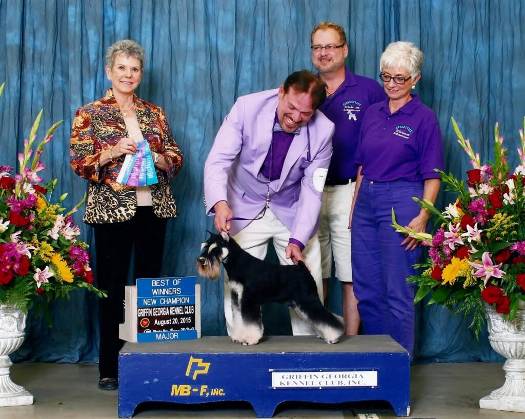 Reberstein's Miniature Schnauzer Winning Best Of Winners At An AKC Dog Show
