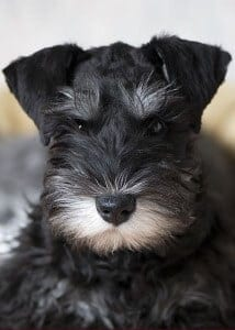 black & silver miniature schnauzer puppies