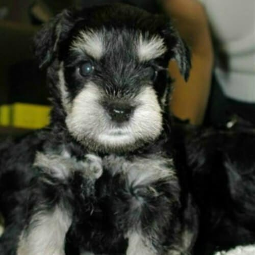 black and silver miniature schnauzer puppies