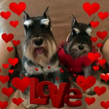 Reberstein's Miniature Schnauzers Axel And Rose