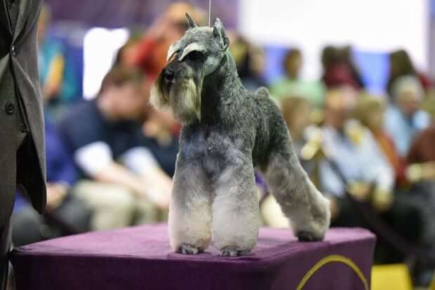 Westminster Kennel Club - Miniature Schnauzer