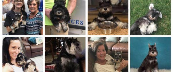 Reberstein's Miniature Schnauzers Group Facebook Page