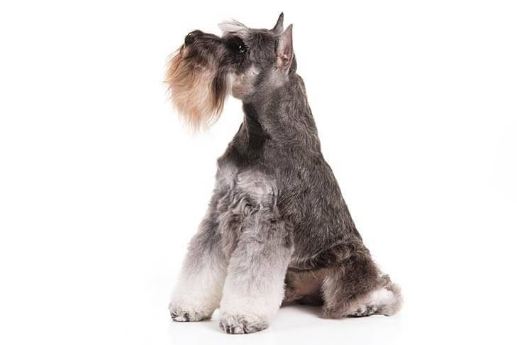 Miniature-Schnauzer-On-White-05