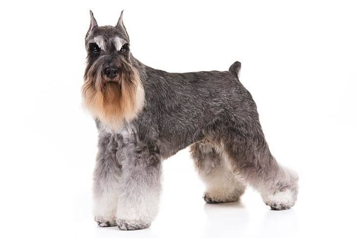 Miniature-Schnauzer-On-White-01