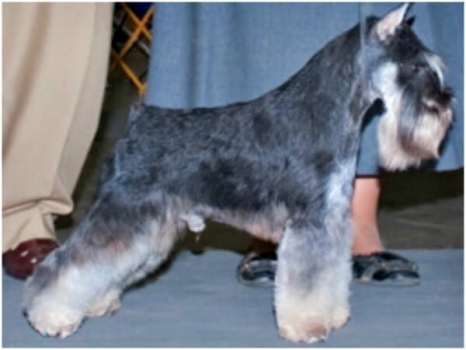 A beautiful stack on this Black and Silver Miniature Schnauzer