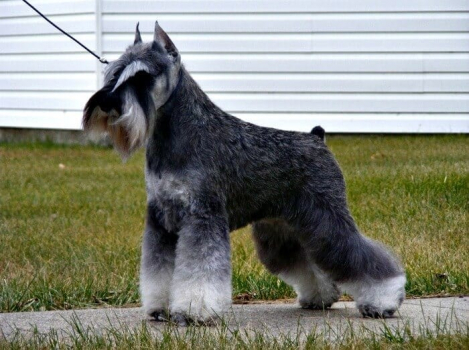 An excellent example of a Salt and Pepper Miniature Schnauzer with a stripped coat