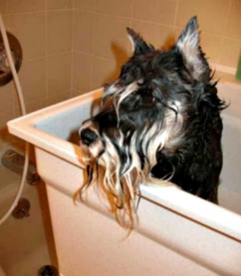 Oh No....It is bath time for this Miniature Schnauzer