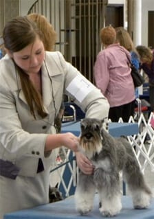 A Salt and Pepper Miniature Schnauzer getting ready to show