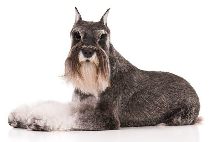 Miniature-Schnauzer-On-White-09