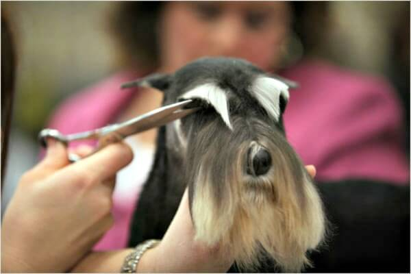 Trimming the eyebrows of a miniature schnauzer