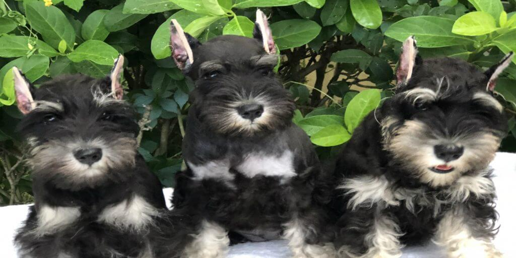 Miniature Schnauzer Breeder & Quality Bred AKC Puppies
