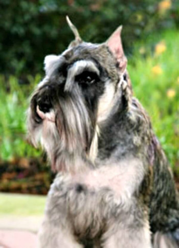 The classic look of a Miniature Schnauzer