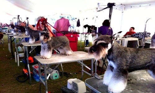 Miniature Schnauzers At An AKC Dog Show