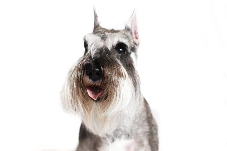 Miniature-Schnauzer-On-White-06