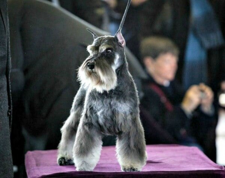 A Salt and Pepper Miniature Schnauzer at the show