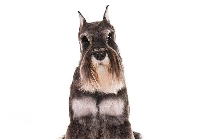 Miniature-Schnauzer-On-White-10