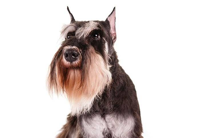 Miniature-Schnauzer-On-White-08