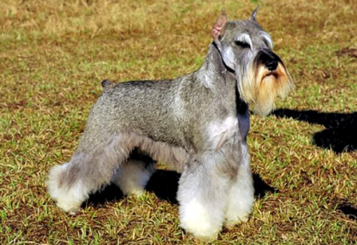 This is a beautifully groomed Miniature Schnauzer