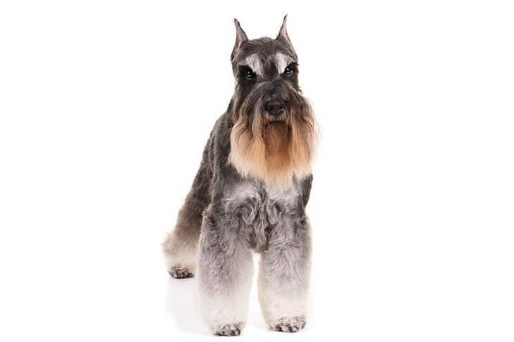 Miniature-Schnauzer-On-White-03